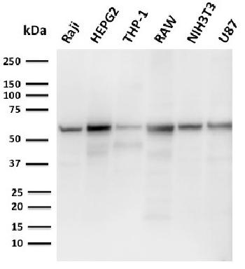 Fig. 1: Western Blot Analysis of Raji, HepG2, THP-1, RAW, NIH3T3, U87 cell lysates using PD-L2 Mouse Monoclonal Antibody (PDL2/2676).