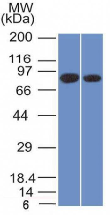 Fig. 2: Western Blot of Analysis of PANC1 and MCF-7 cell lysate using Calnexin Mouse Monoclonal Antibody (CANX/1543).