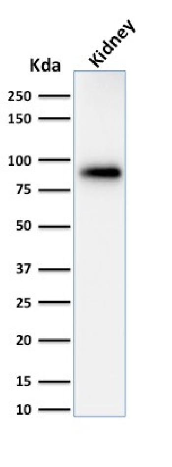 Fig. 4: Western Blot of Analysis of human Kidney lysate using Calnexin Mouse Monoclonal Antibody (CANX/1543).
