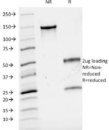 Fig. 3: SDS-PAGE Analysis Purified CD3e Mouse Monoclonal Antibody (B-B12). Confirmation of Integrity and Purity of Antibody.
