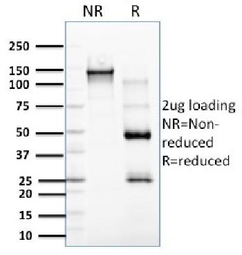 Fig. 2: SDS-PAGE Analysis Purified RCAS1 Mouse Monoclonal Antibody (CPTC-EBAG9-2). Confirmation of Purity and Integrity of Antibody.