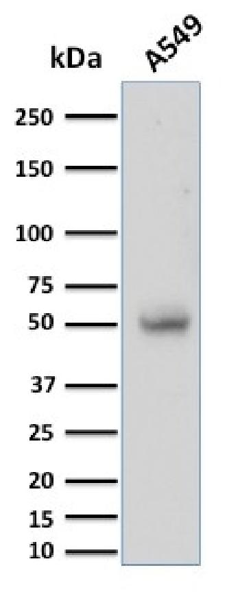 Fig. 4: Western Blot Analysis of A549 cell lysate using CD14 Mouse Monoclonal Antibody (LPSR/2397).