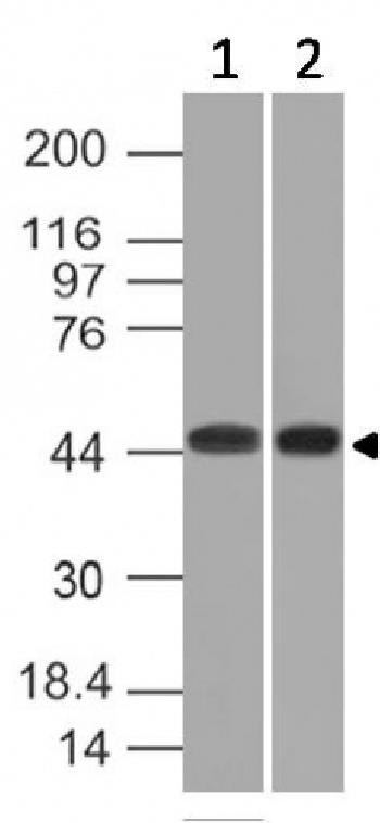 Fig. 2: Western Blot of K562 and HEK293 cell lysates using Napsin A Mouse Monoclonal Antibody (NAPSA/1239).