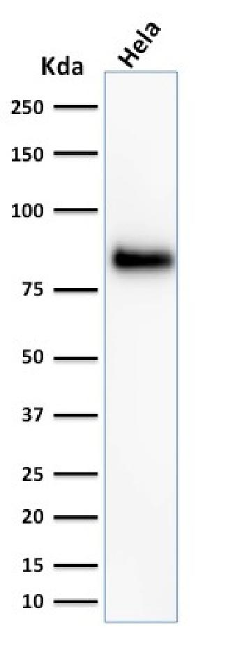 Anti-CD44 / HCAM Std. (Cancer Stem Cell Marker) Monoclonal Antibody(Clone: 156-3C11)