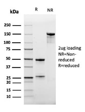 Anti-CD47 / IAP (Integrin Associated Protein) Monoclonal Antibody(Clone: IAP/964)