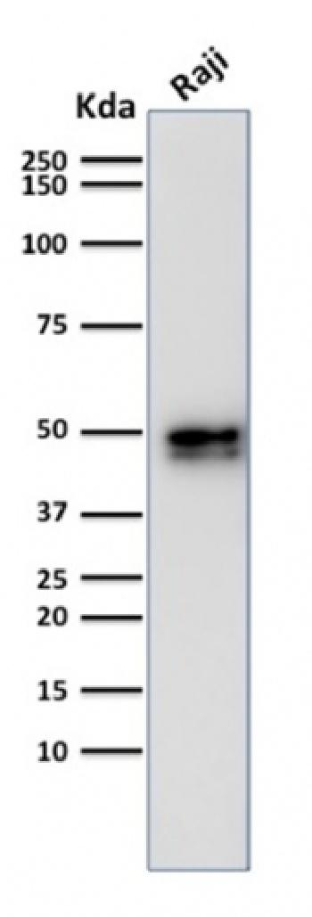 Fig. 2: Western Blot Analysis of Raji cell lysate using CD79a Rabbit Recombinant Monoclonal Antibody (IGA/1790).