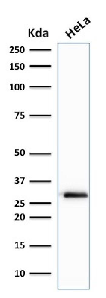 Anti-Cdk1 / p34cdc2 Serine-Threonine Kinase Monoclonal Antibody(Clone: A17.1.1)