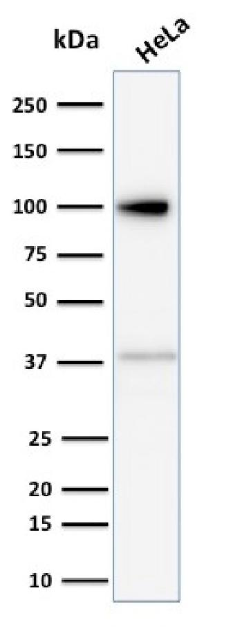 Fig. 1: Western Blot Analysis of human HeLa cell lysate using Major Vault Protein (MVP) Mouse Monoclonal Antibody (Clone 1014).
