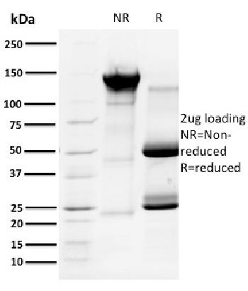 Fig. 2: SDS-PAGE Analysis Purified Cyclin A1 Mouse Monoclonal Antibody (XLA1-3). Confirmation of Purity and Integrity of Antibody.