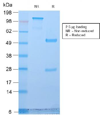 Anti-Golgi Complex (Marker for Human Cells) Monoclonal Antibody(Clone: GLG1/2829R)