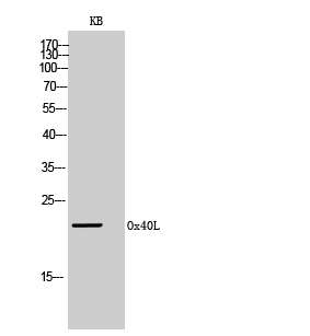 Figure-1: Western Blot (WB) analysis of KB cells using Ox40L Polyclonal antibody.