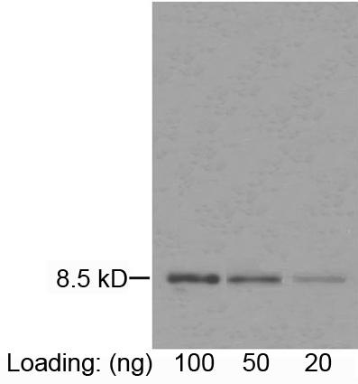Mouse Monoclonal Antibody to IL-8 (Clone : 3B1C10)