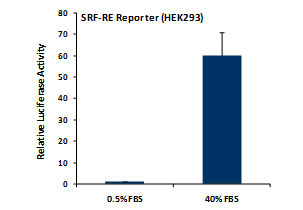 SRF-RE Reporter Assay